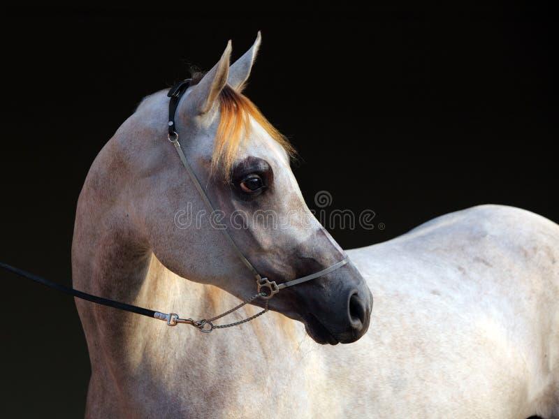 纯血统阿拉伯马,画象起斑纹灰色母马 免版税图库摄影