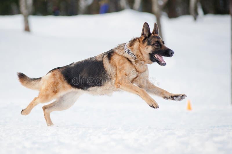 跑在冬天的德国牧羊犬 库存照片