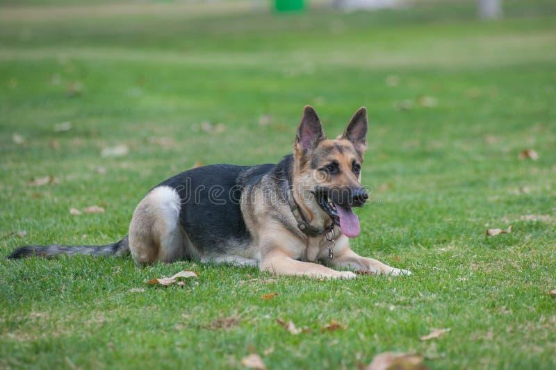 纯血统狗在公园斜倚了 免版税库存图片