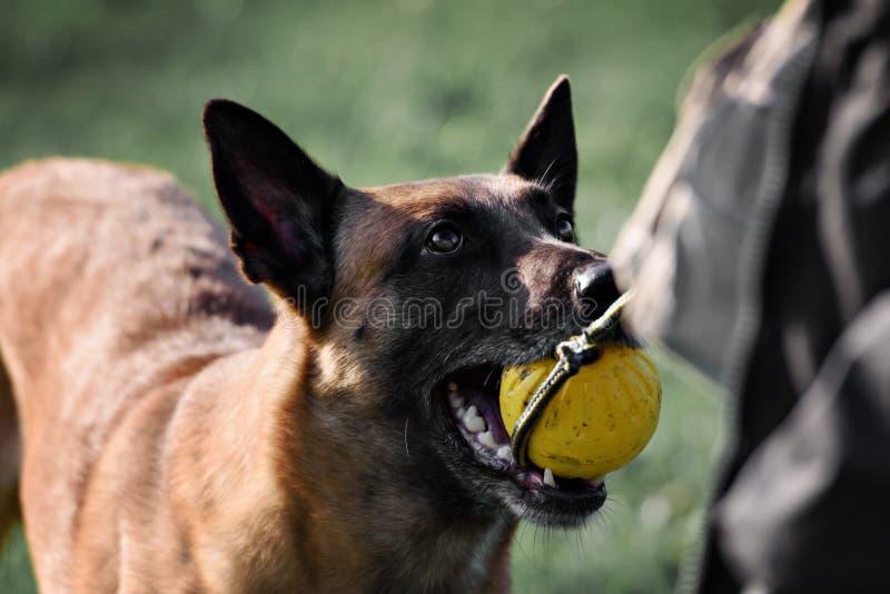 纯血统的动物比利时护羊狗malinois的图片 库存照片