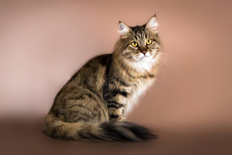 纯血统西伯利亚猫坐棕色背景 库存图片