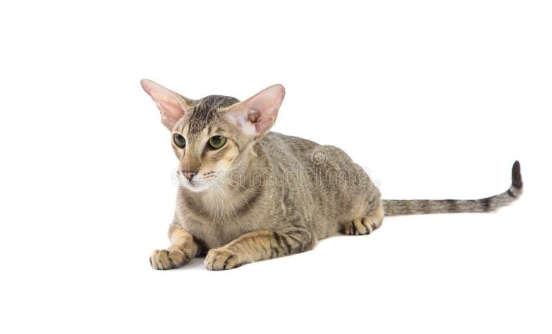 纯血统逗人喜爱的暹罗猫说谎的演播室射击 免版税库存图片