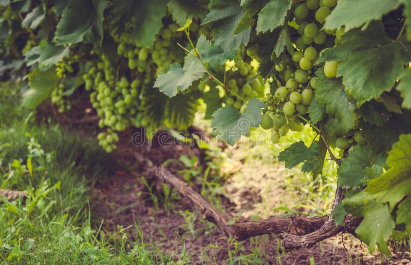 纳帕谷的晴朗的葡萄园在加利福尼亚 免版税库存照片