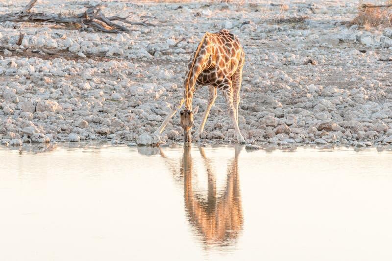 纳米比亚在一waterhole的长颈鹿饮用水在日落 免版税库存照片