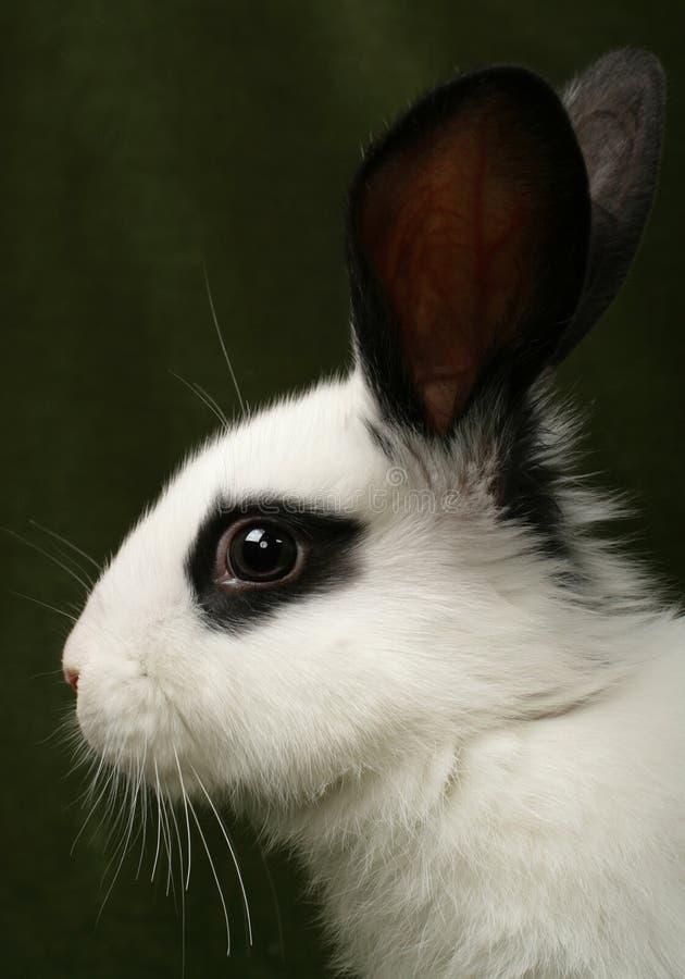 纵向兔子 库存图片