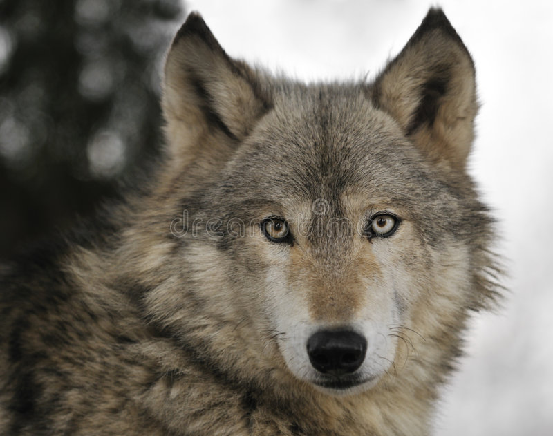 纵向北美灰狼 免版税库存图片