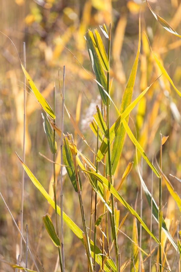 纸莎草作为背景的秋天自然 库存图片