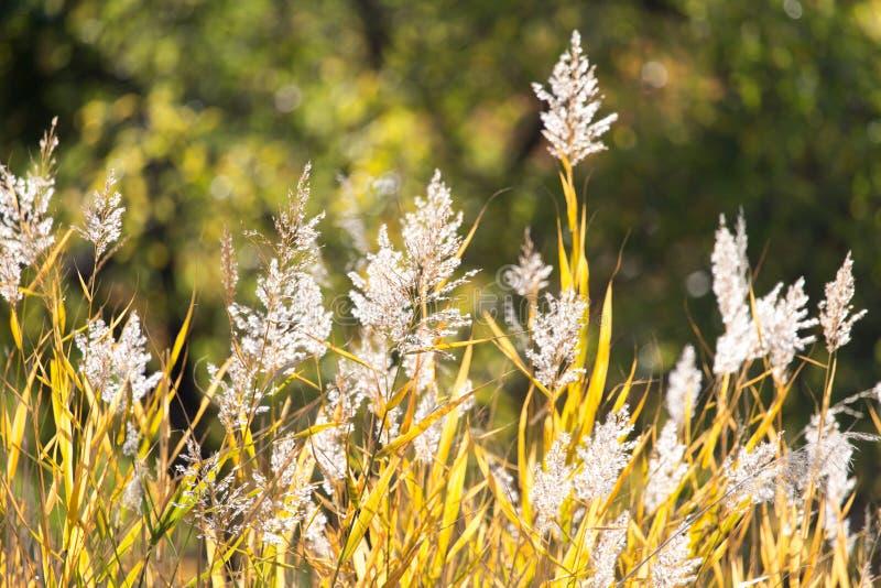 纸莎草作为背景的秋天自然 免版税库存图片