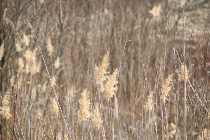 纸莎草作为自然背景 库存照片