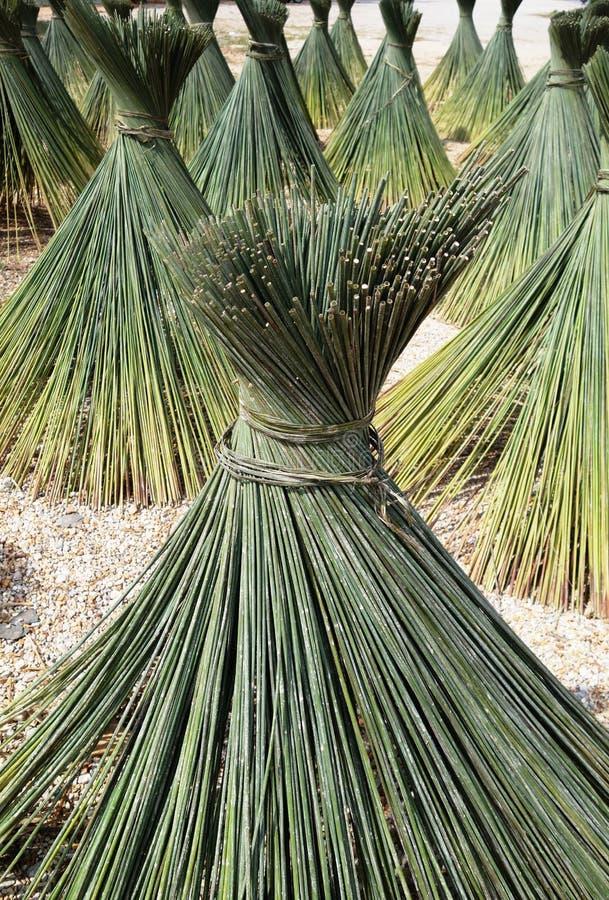纸莎草- Lepironia articulata 库存图片