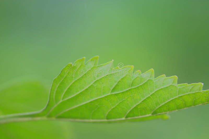 纹理在绿色叶子中,自然绿色背景植物  库存照片