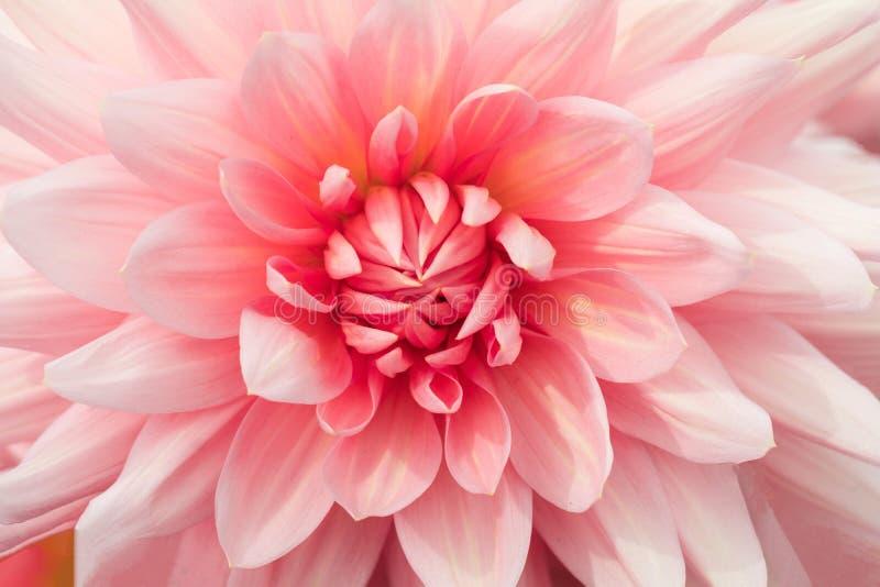 纹理桃红色花特写镜头细节 图库摄影