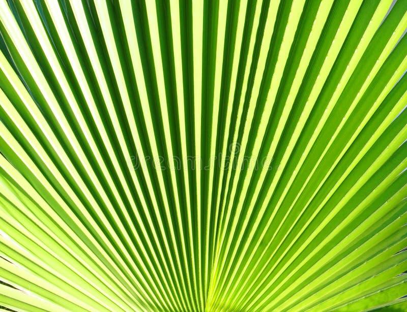 纹理棕榈叶 免版税图库摄影