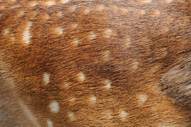 纹理鹿毛皮 库存图片