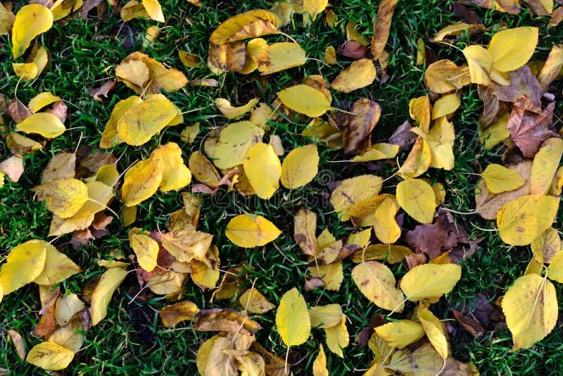 纹理黄色秋叶在绿草跌倒 库存图片