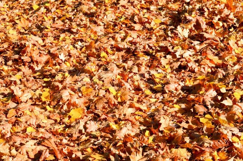 纹理,干燥下落的秋天自然橙黄红色叶子自然地毯  抽象背景异教徒青绿 免版税图库摄影