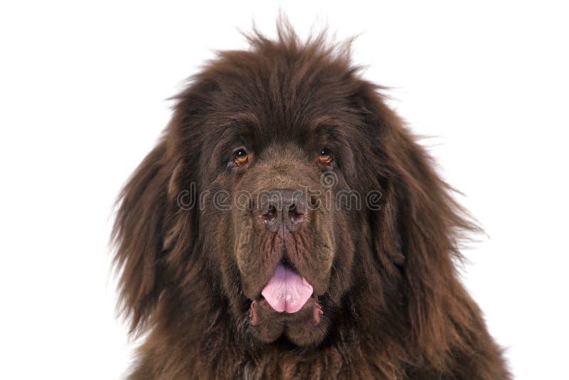 纽芬兰狗 免版税库存照片