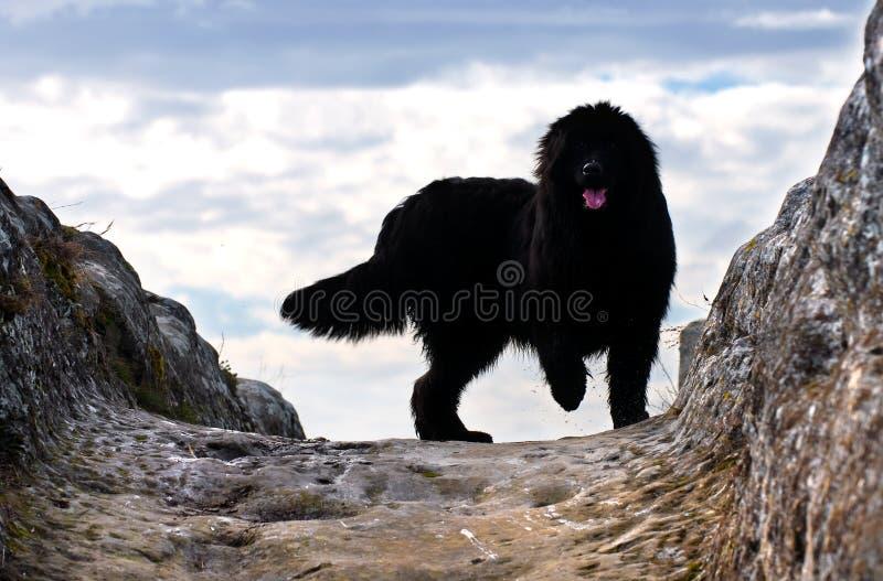 纽芬兰狗 库存照片