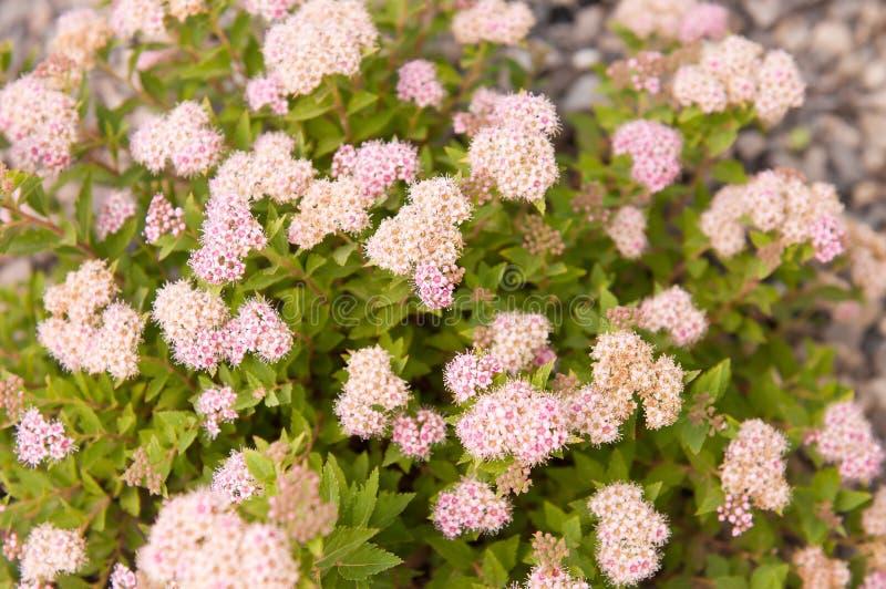 绣线菊类的植物japonica日本人矮人 库存图片