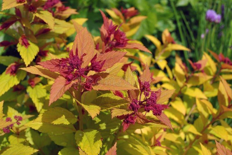 绣线菊类的植物japonica魔术地毯 免版税库存图片