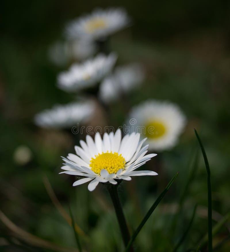 线od雏菊的 库存照片