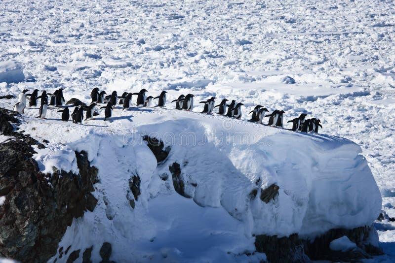 组大企鹅 免版税库存照片