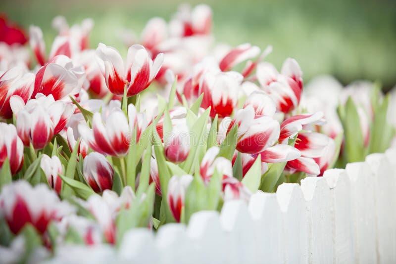 组空白和红色郁金香在庭院里开花 免版税图库摄影