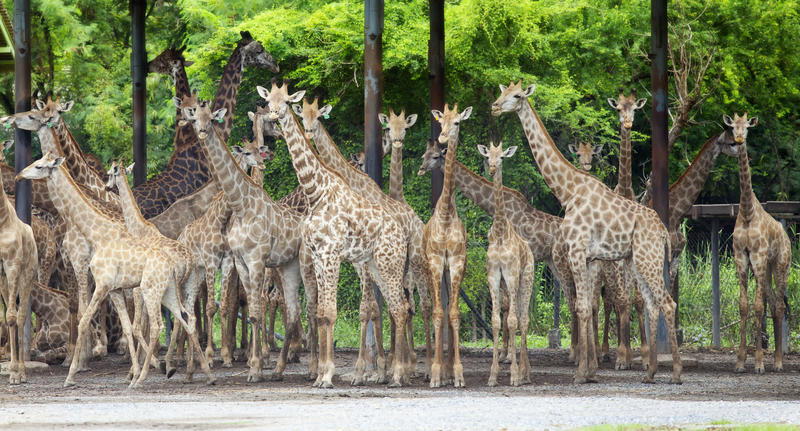 组长颈鹿 免版税库存照片