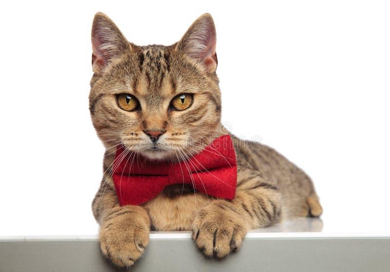绅士英国折叠说谎与爪子垂悬的猫 库存图片