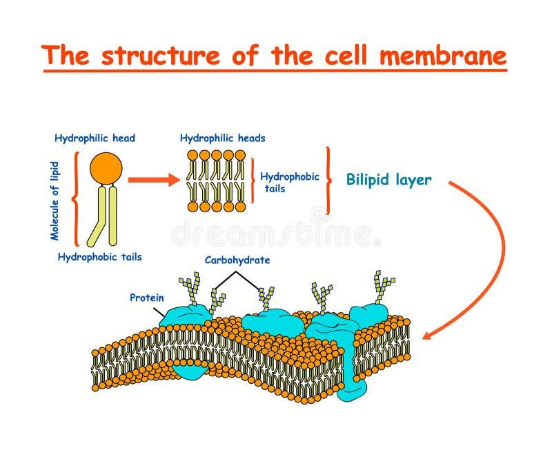 细胞膜结构在被隔绝的白色背景的图信息图表 教育例证 向量例证