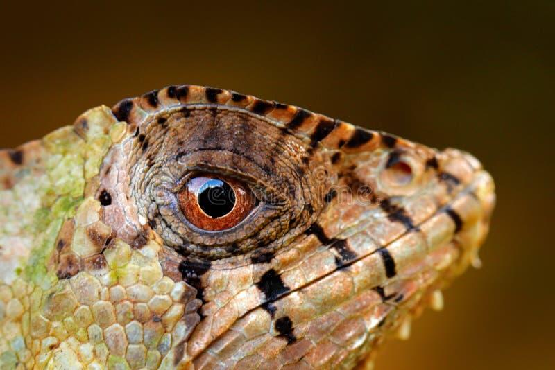 细节头盔状的蛇怪鬣鳞蜥,Corytophanes cristatus,特写镜头眼睛 蜥蜴在自然栖所,绿色森林植物群落 库存图片