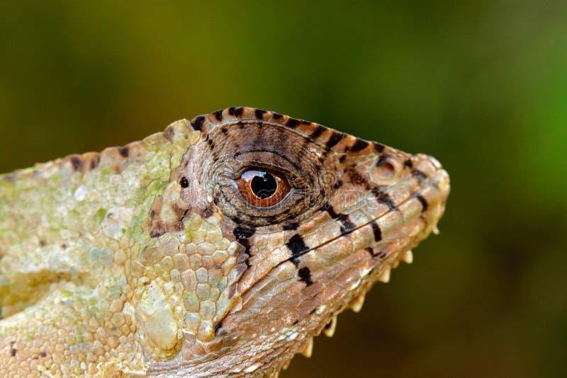 细节头盔状的蛇怪鬣鳞蜥,Corytophanes cristatus,特写镜头眼睛 蜥蜴在自然栖所,绿色森林植物群落 免版税库存图片