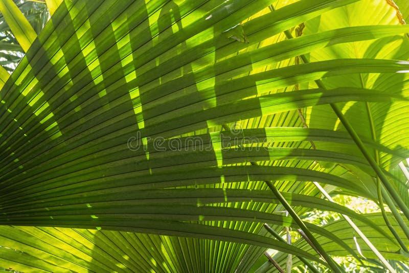 细节热带绿色棕榈叶背景 免版税库存图片