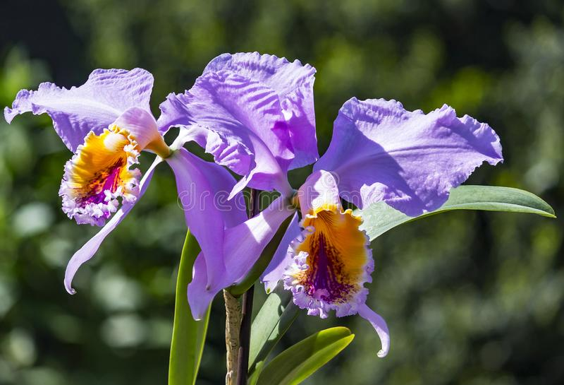 细节聚焦堆积Cattleya兰花的美丽的丁香和黄色花 免版税库存照片