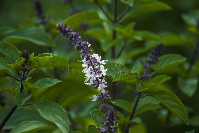 细节蓬蒿花,罗勒属basilicum,有机播种在室外庭院里在安地瓜,中美洲 免版税图库摄影