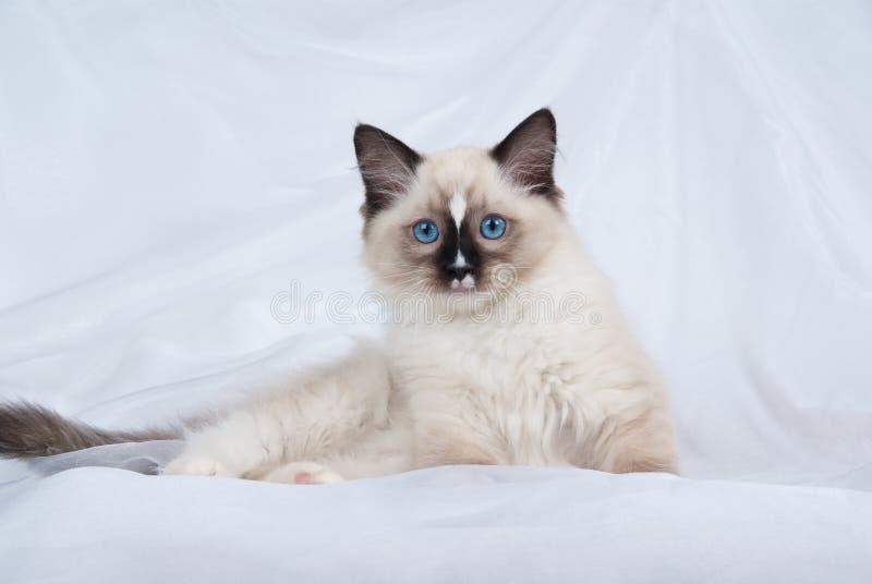 织品小猫点ragdoll密封白色 免版税库存照片