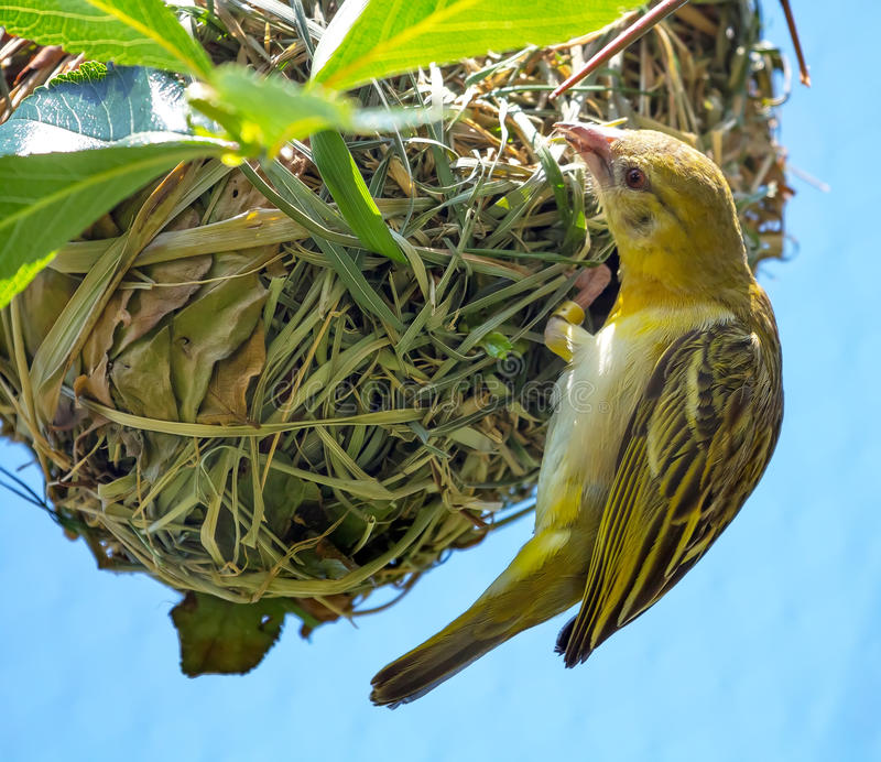 织工在嵌套工作的鸟Ploceidae 免版税图库摄影
