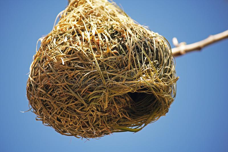织布工鸟的巢的接近的看法 库存照片