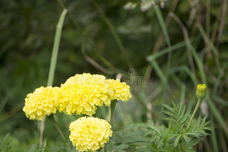 经典半重瓣淡黄的大丽花分蘖性,块茎,草本四季不断的植物类绽放的在是magni的夏天 免版税库存图片