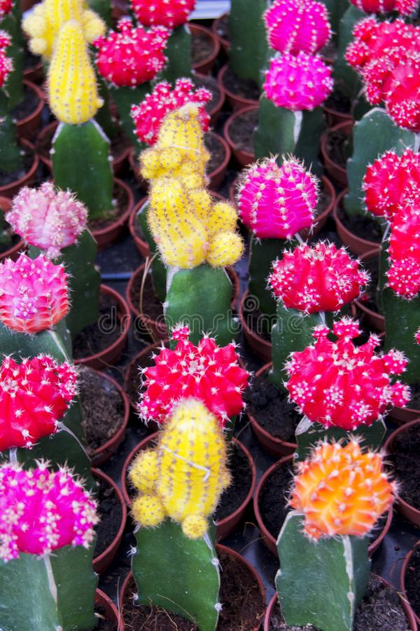 经常称下巴仙人掌的色的Gymnocalycium mihanovichii软的焦点,在农场待售 免版税库存照片