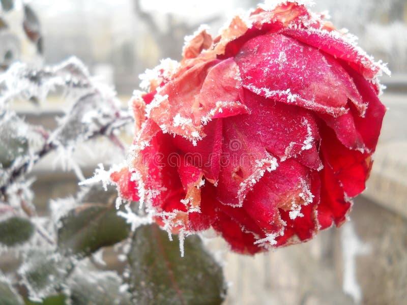 结冰的明亮的猩红色上升了在白色霜下 库存图片