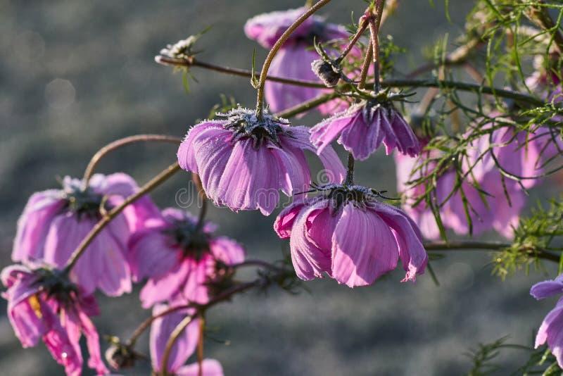 结冰的桃红色庭院花,波斯菊bipinnatus,盖在树冰 库存图片