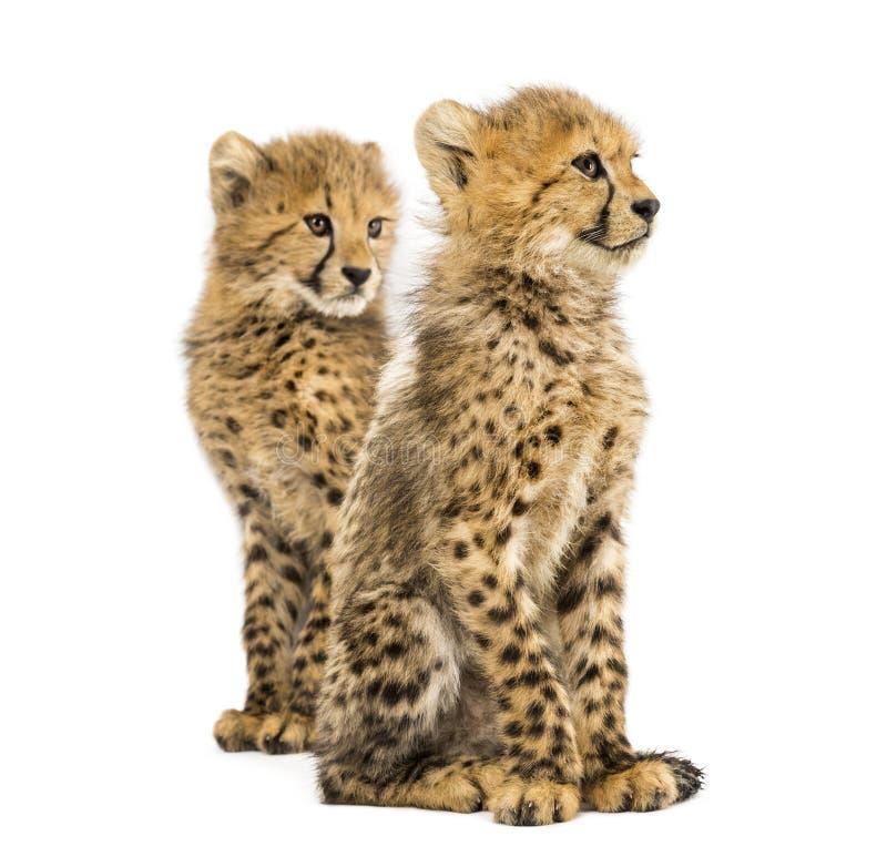 结合三月猎豹崽,隔绝 免版税图库摄影