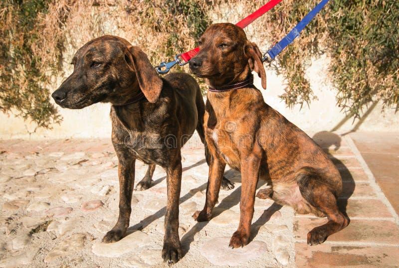 结合两美丽的幼小猎犬 免版税图库摄影