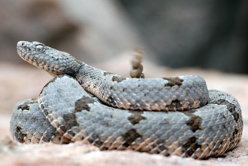 结合了其吵闹声响尾蛇岩石震动 库存图片