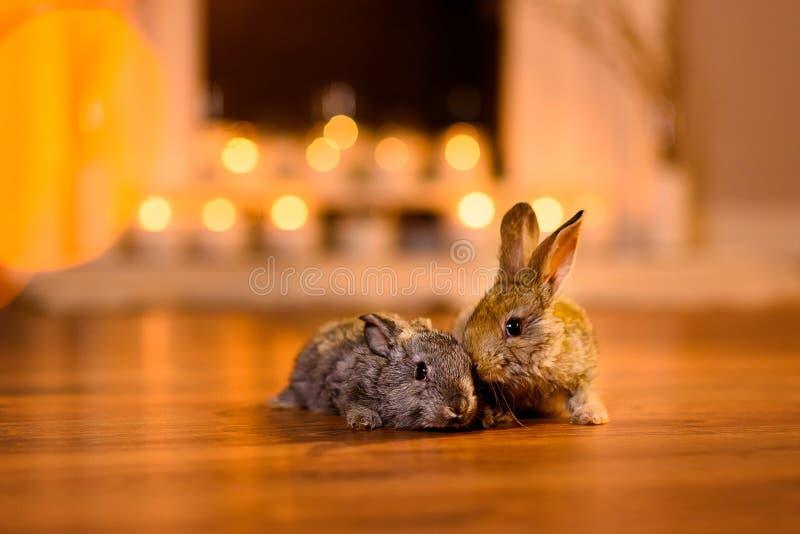结合在一间舒适屋子的一个木地板上的两个可爱的兔宝宝 库存照片