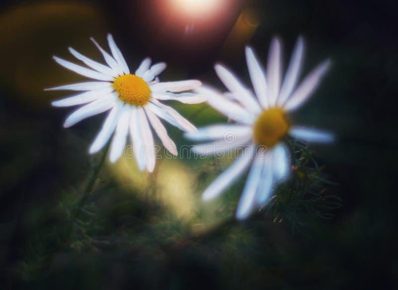 结合在日落的雏菊 免版税库存图片
