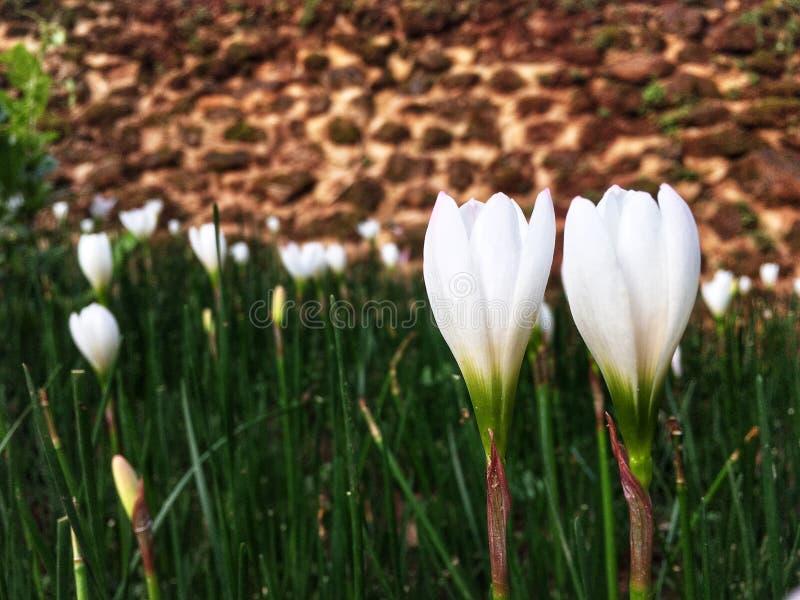 结合开花在雨季的庭院里的白色番红花花 免版税库存照片
