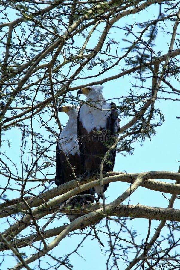 结合非洲鱼鹰, Haliaeetus vocifer,戈龙戈萨国家公园,莫桑比克 免版税库存照片