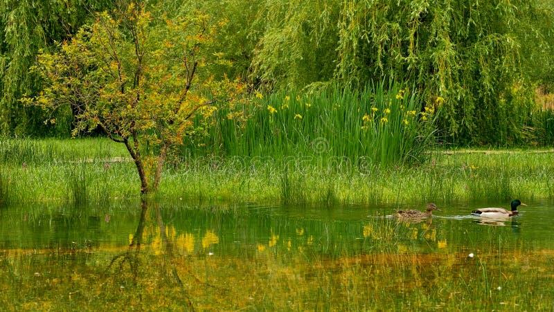 结合鸭子在庭院里在Morinj,科托尔海湾,黑山 库存图片